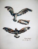 Quadro di  firma Illeggibile - Aquila aquarelle papier